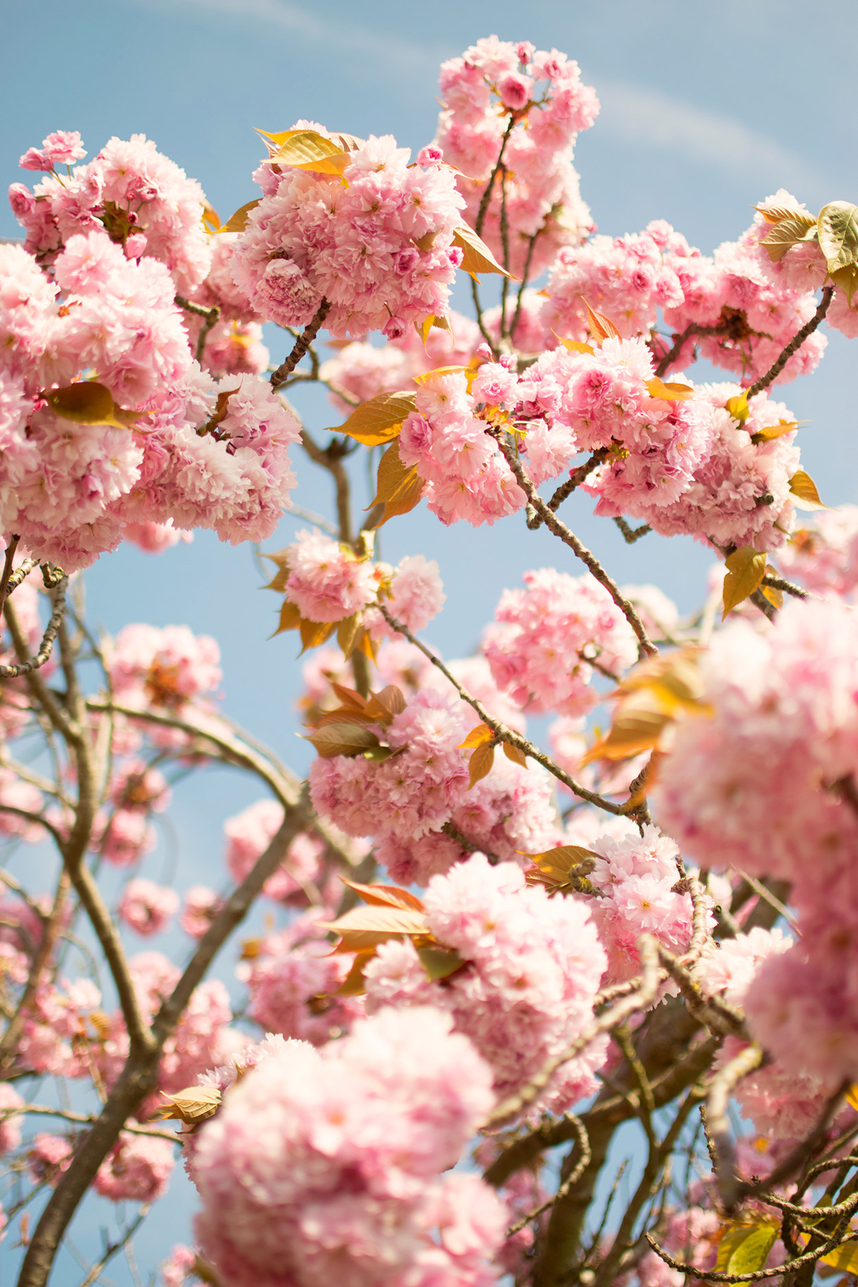 May goals - Beautiful pink blossom tree close-up against blue Summer's day sky taken on a NikonD3300